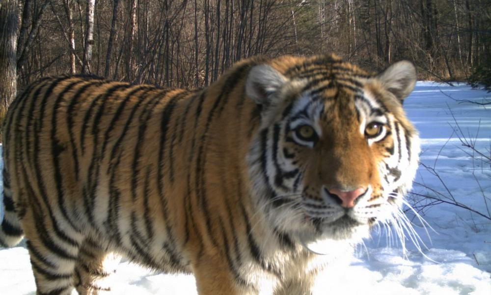 """A """"Cinderella"""" story in tiger conservation"""