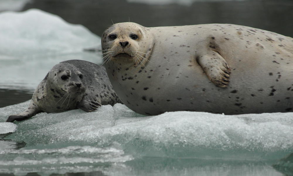 A proposed mine in Alaska threatens one of the world's most unique seals