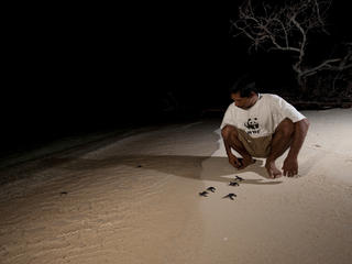 Green Turtle release in Indonesia