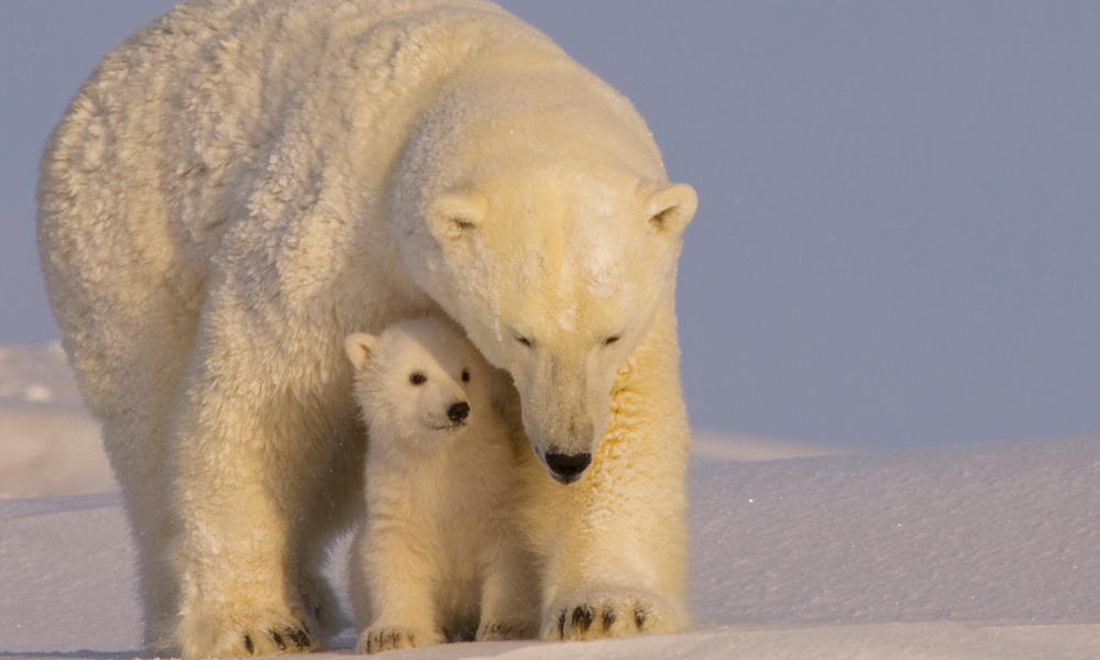 WWF Statement on Polar Bear Cub Survival Act
