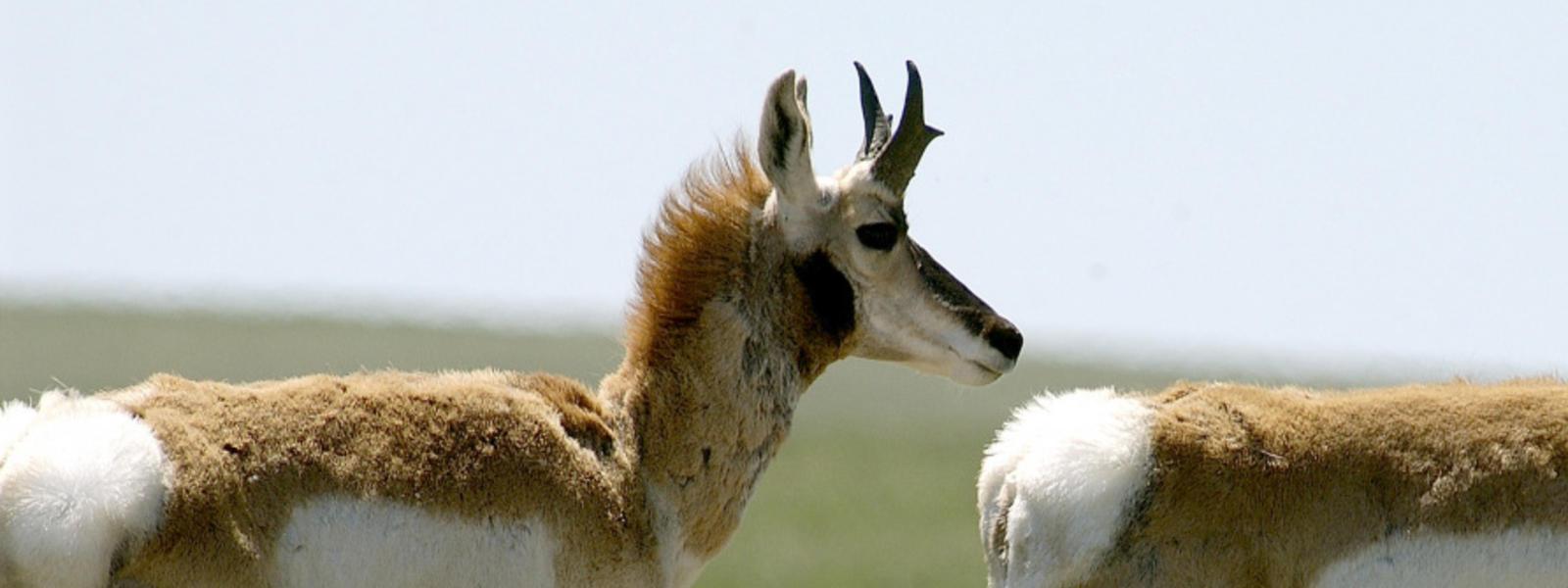 Pronghorn | Species | WWF