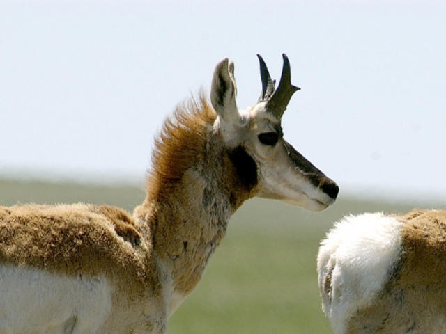 Two pronghorn (Antilocapra americana) waking. Custer State Park, North Dakota, United States.