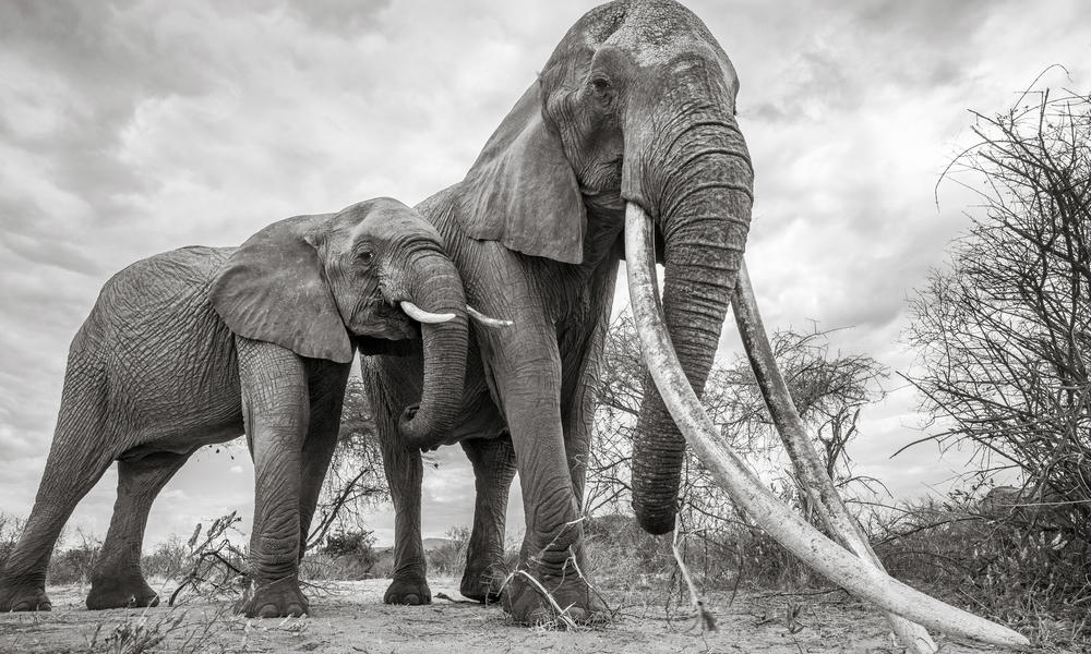 Global Ivory Ban Stands Firm at CITES