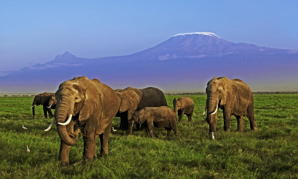 African elephant herd
