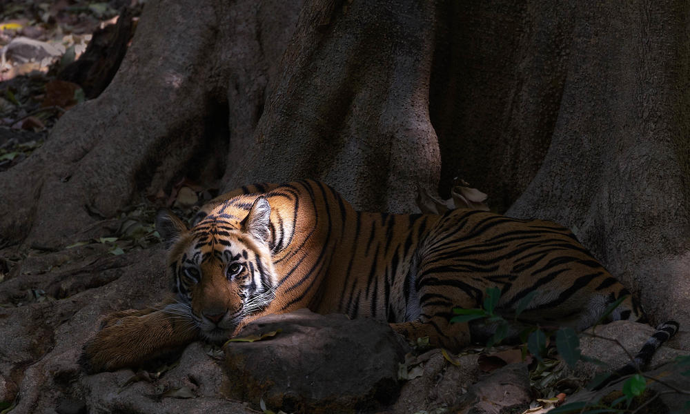 Tiger trafficking is still a major threat to the survival of world's tigers