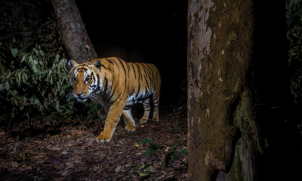 A camera trap captures an elusive tiger in Nepal