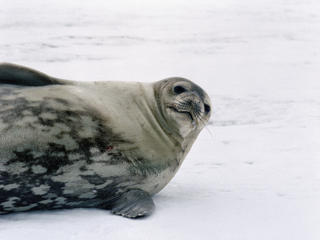 Weddell Seal 
