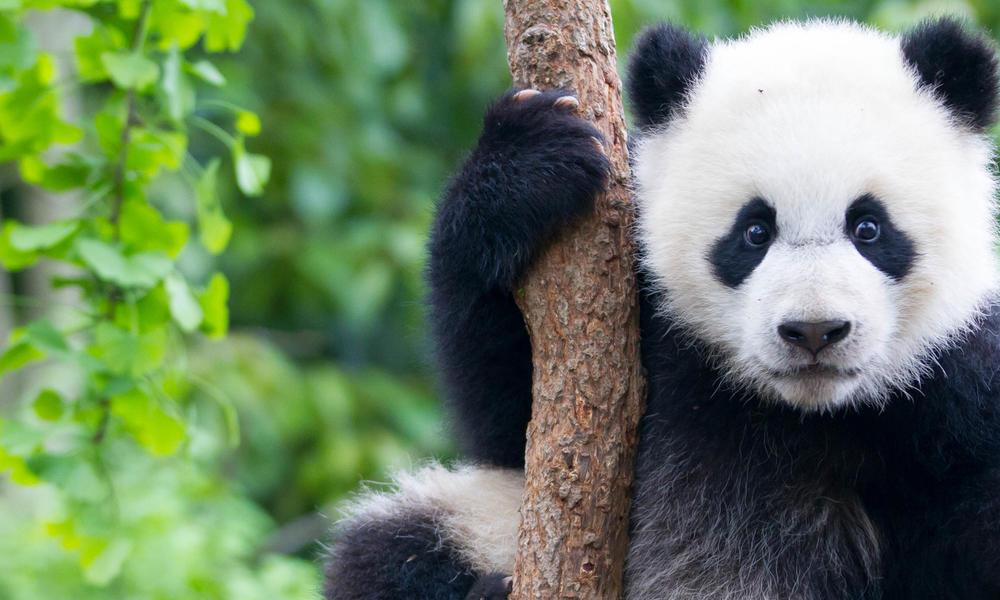 Giant Panda Species Wwf
