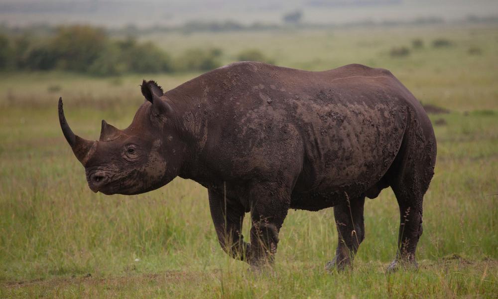 Rhino Species Wwf