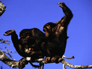 Chimpanzees_Why_They_Matter_image_(c)_Martin_Harvey_WWF_Canon.jpg