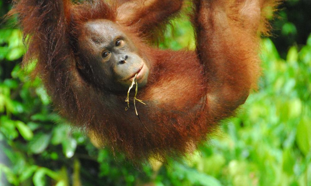 an overview of the species of monkeys orangutan