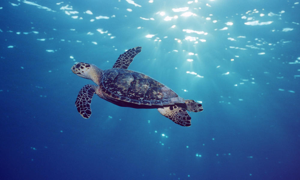 Hawksbill Turtle Sea Turtles Species Wwf