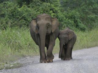 Pygmy Pair