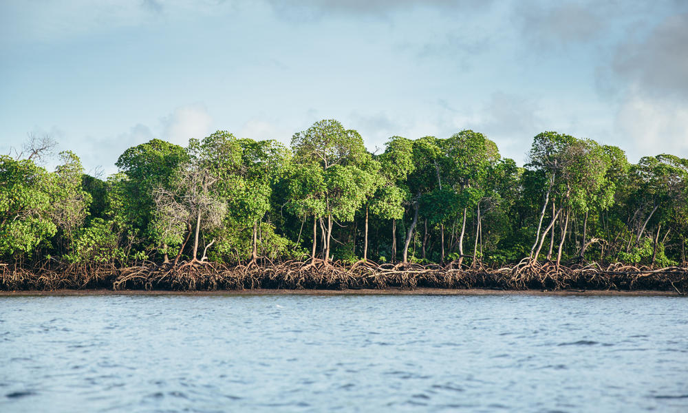 Mighty Mangroves