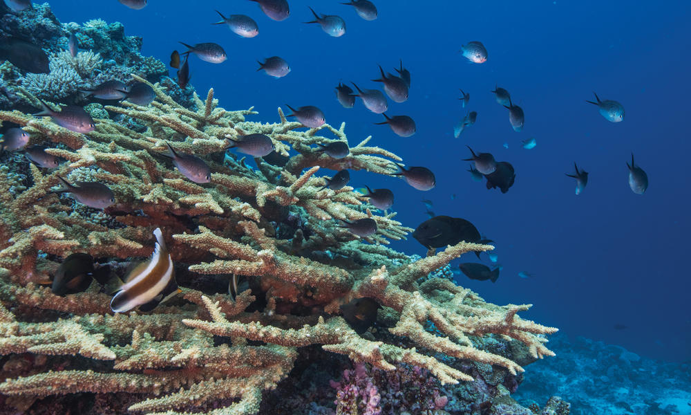 In Fiji, a long-awaited survey of the Great Sea Reef offers new insights