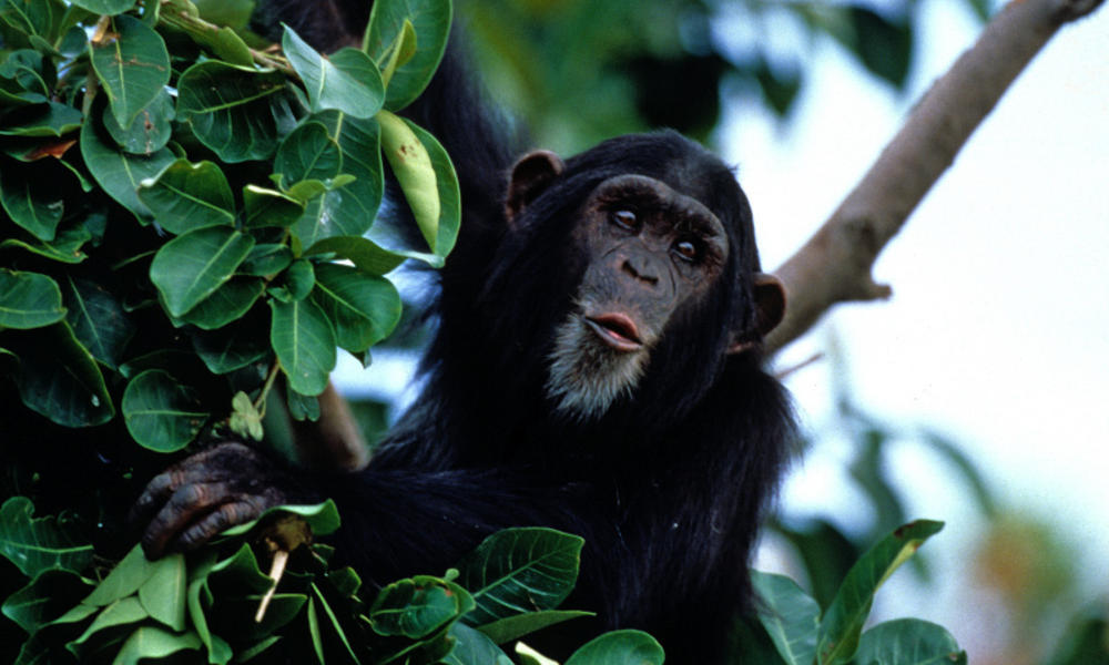 Chimpanzees_Circle_image_(c)_Howard_W._Buffett_WWF_US.jpg