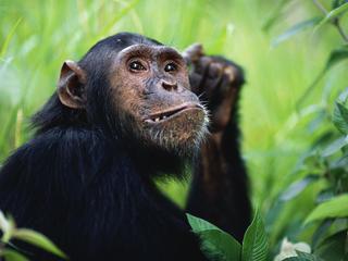 Chimpanzees_Hero_image_(c)_naturepl.com_Anup_Shah_WWF.jpg