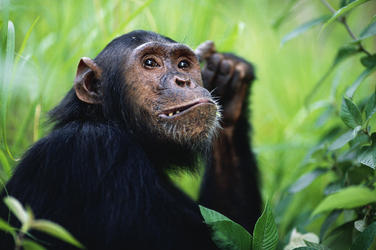 Chimpanzees hero image %28c%29 naturepl.com anup shah wwf
