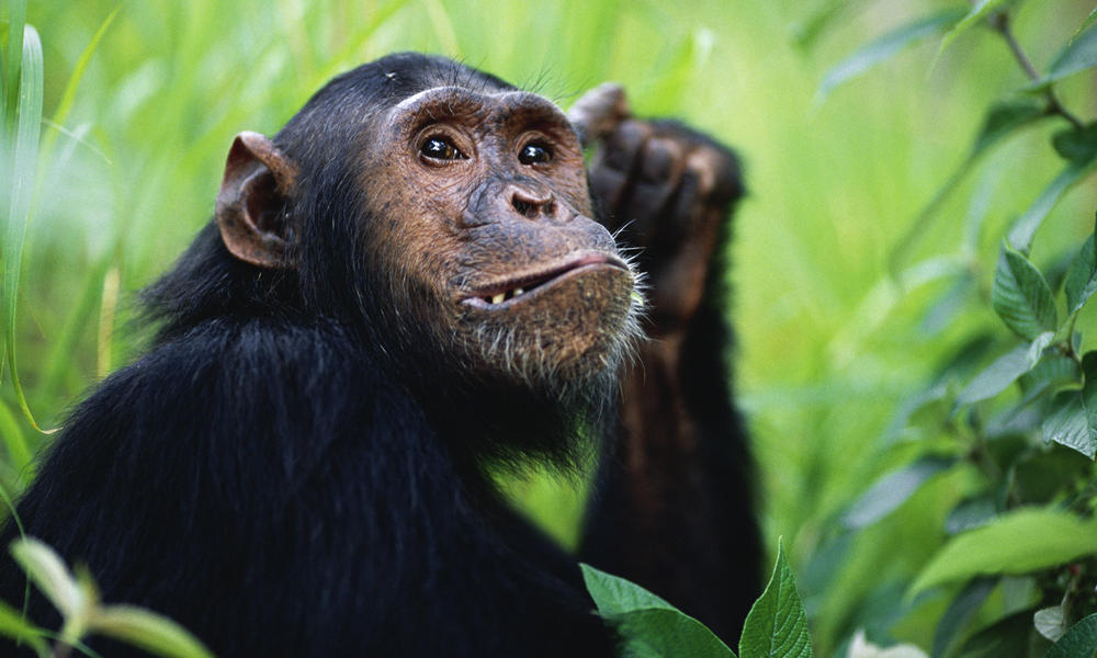 Chimpanzees_Hero_image_(c)_naturepl.com_Anup_Shah_WWF.jpg