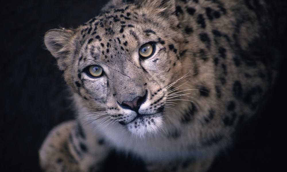 leopard animal: