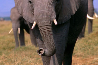 African-elephant_08.15.2012_buyer-beware