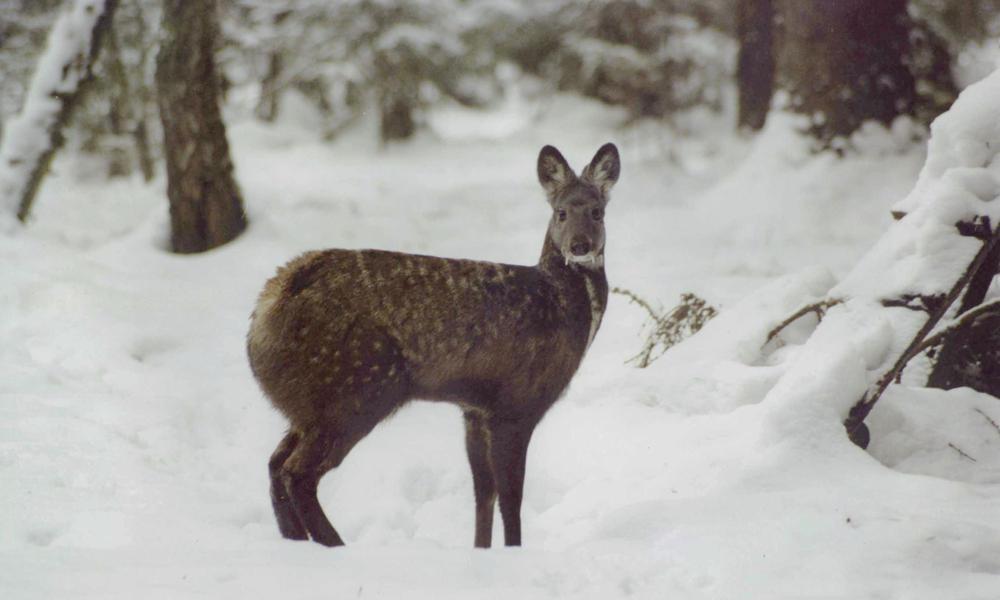 Musk deer 08.15.2012 buyer beware