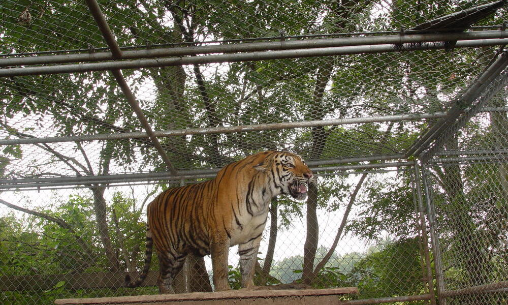 Four things to know about captive tigers in the US | Stories | WWF