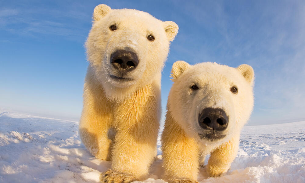 Polar Bears, Climate Change, and Oil and Gas Drilling in the in the Arctic National Wildlife Refuge