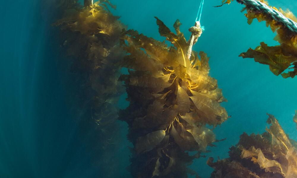 World Wildlife Fund Announces Investment in Seaweed Farming through Ocean Rainforest
