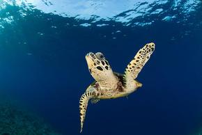 Hawksbill turtle (Eretmochelys imbricata), New Britain, Papua New Guinea.