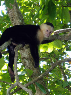 Capuchin Monkey