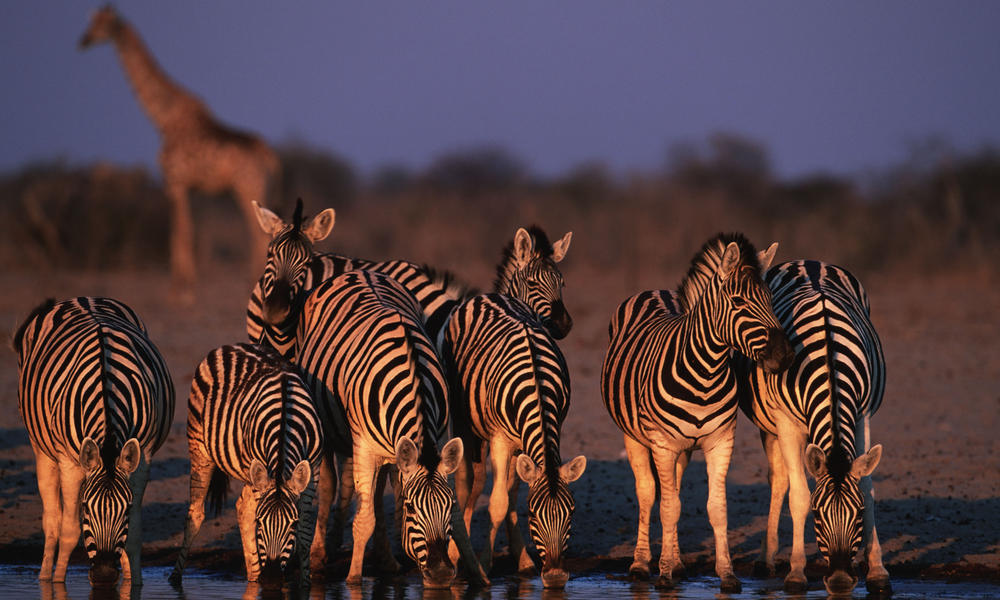 Many species gather around the watering holes of the Ongava Game