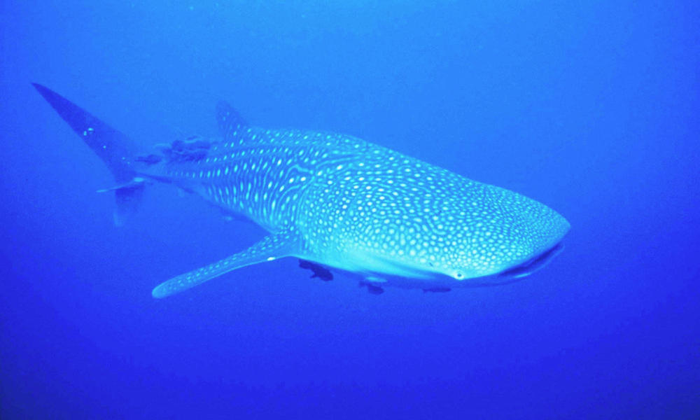 Whale Sharks