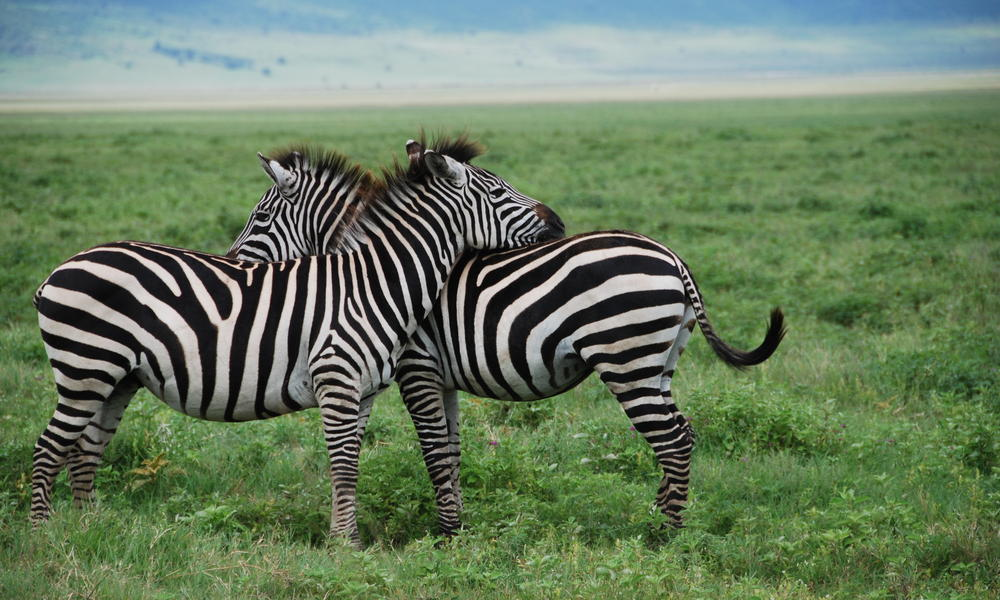 zebras running from predator -#main