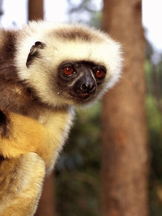 Diademed Sifaka