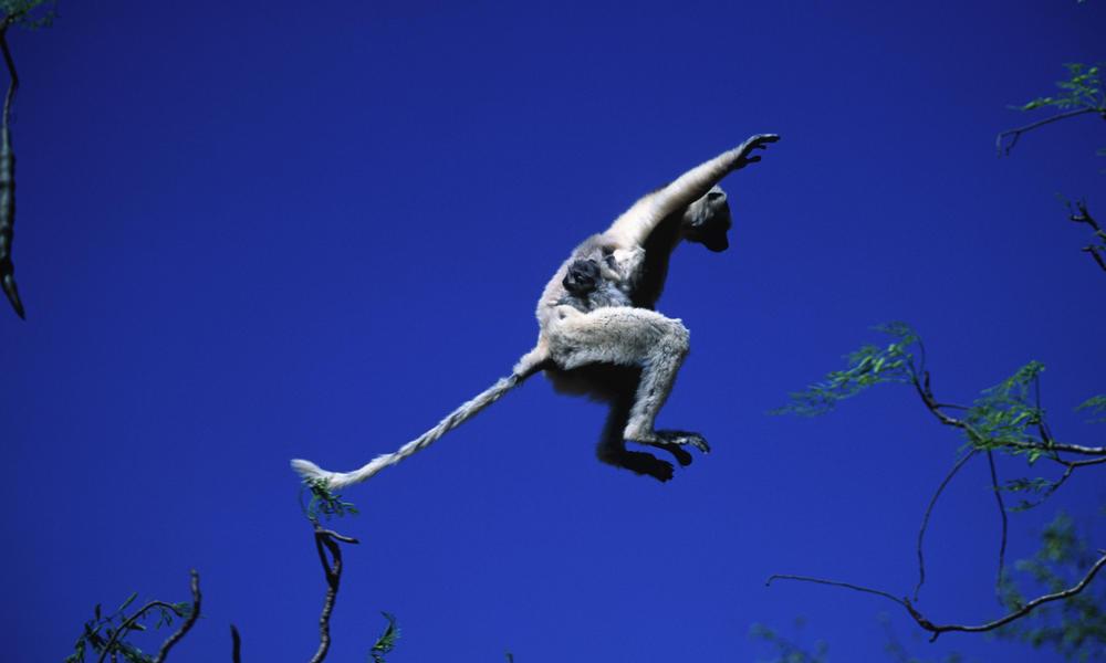 Leaping Lemurs