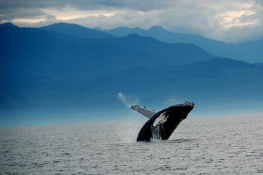 Whale_(c)_j._maya_nha