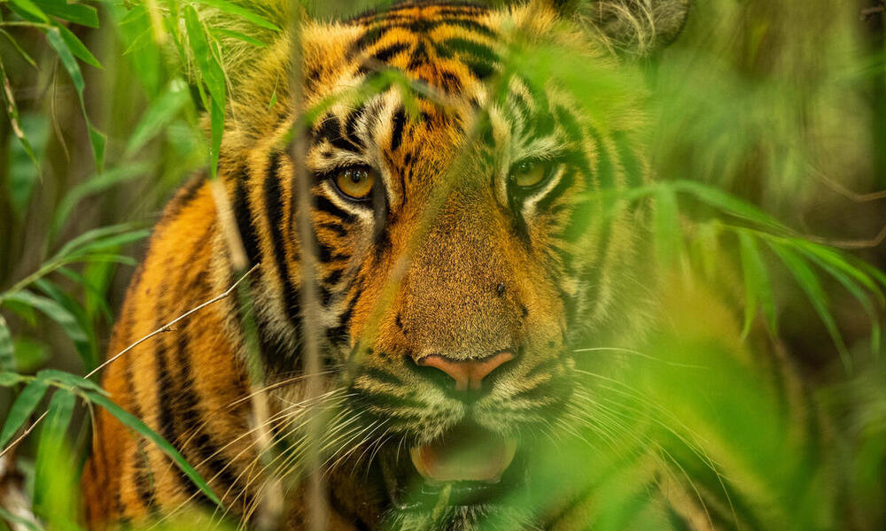 Securing a future for wild tigers | Stories | WWF