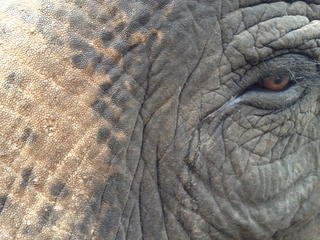 Close up of an Asian elephant.