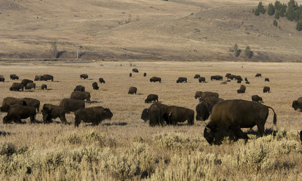 american great plains animals - photo #5