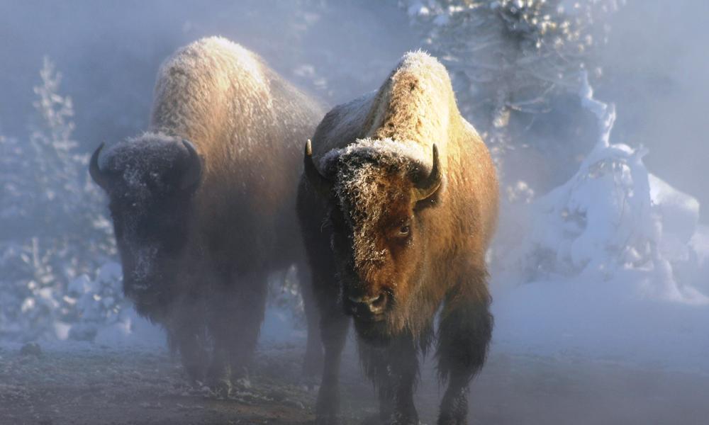 Snowy Buffalo