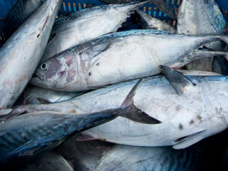 Skipjack tuna