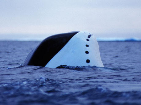 Bowhead whale