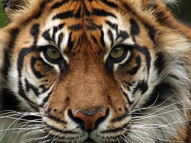 Sumatran Tiger Tiger