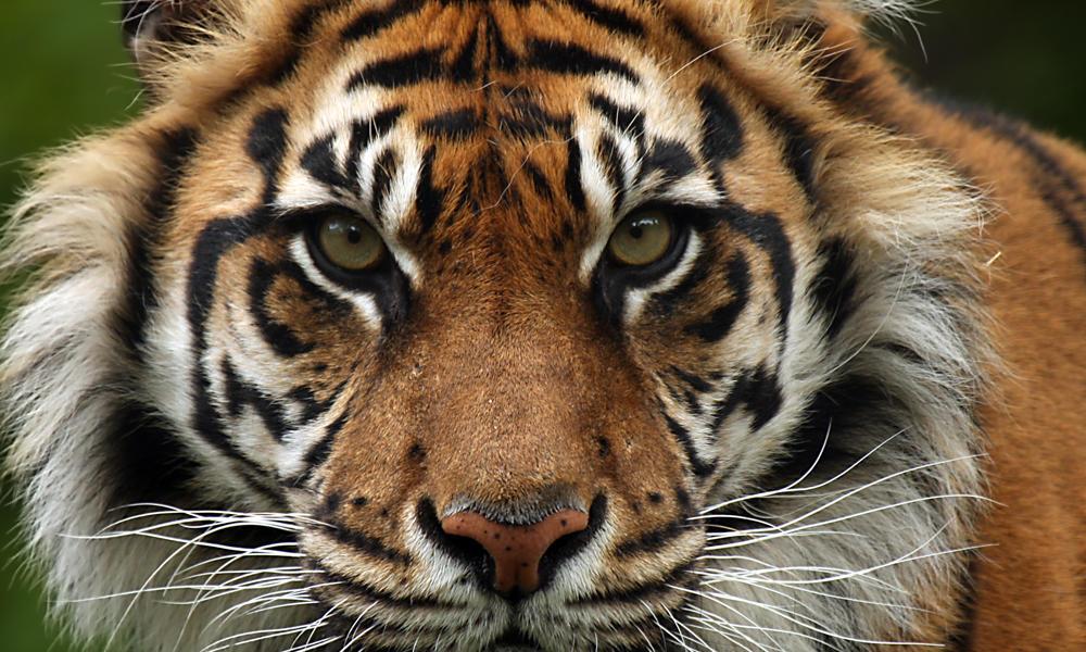 Sumatran tiger species wwf gumiabroncs Image collections