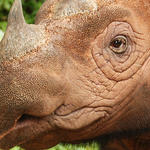 Sumatran Rhino