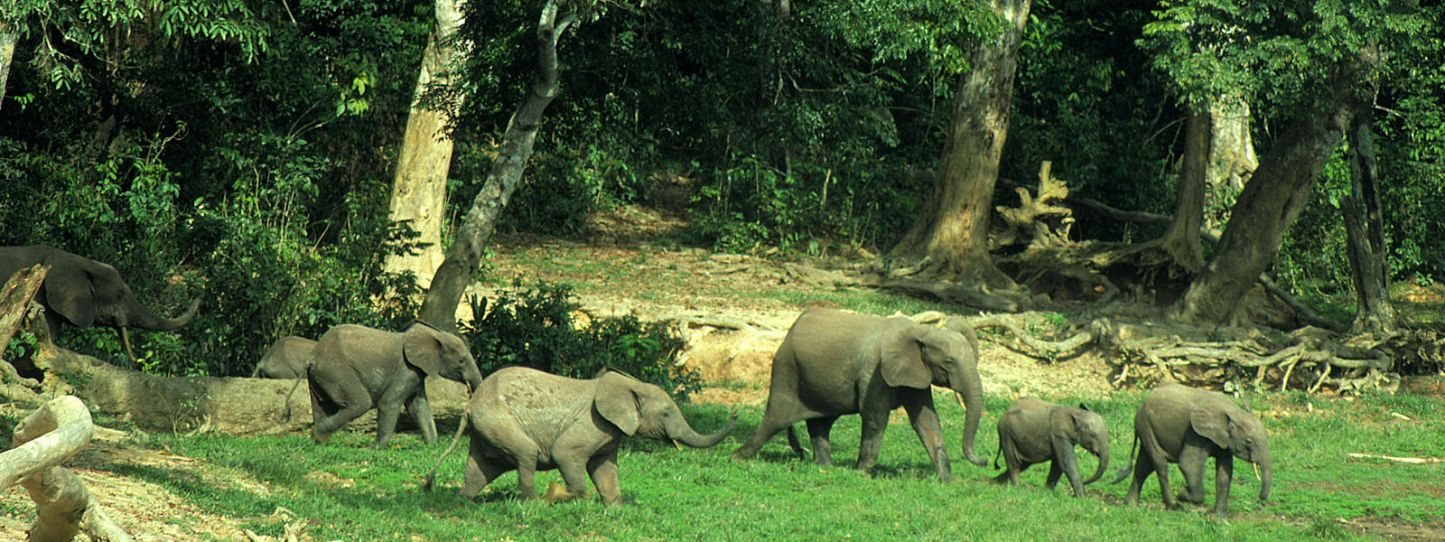 African forest elephant in rainforest