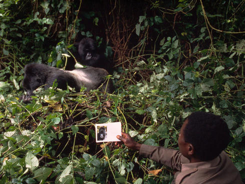 A park guard identifies a mountain gorilla in Virunga National Park, Democratic Republic of Congo. The work is part of a population monitoring program. More than 140 rangers have died in the line of duty since 1996 protecting the park. A fund has been set