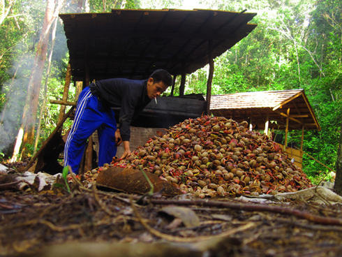 Illipe nuts are collected from the forest and then smoked. Smoking is one of the traditional methods to preserve and process the nuts before they are sold at the markets.