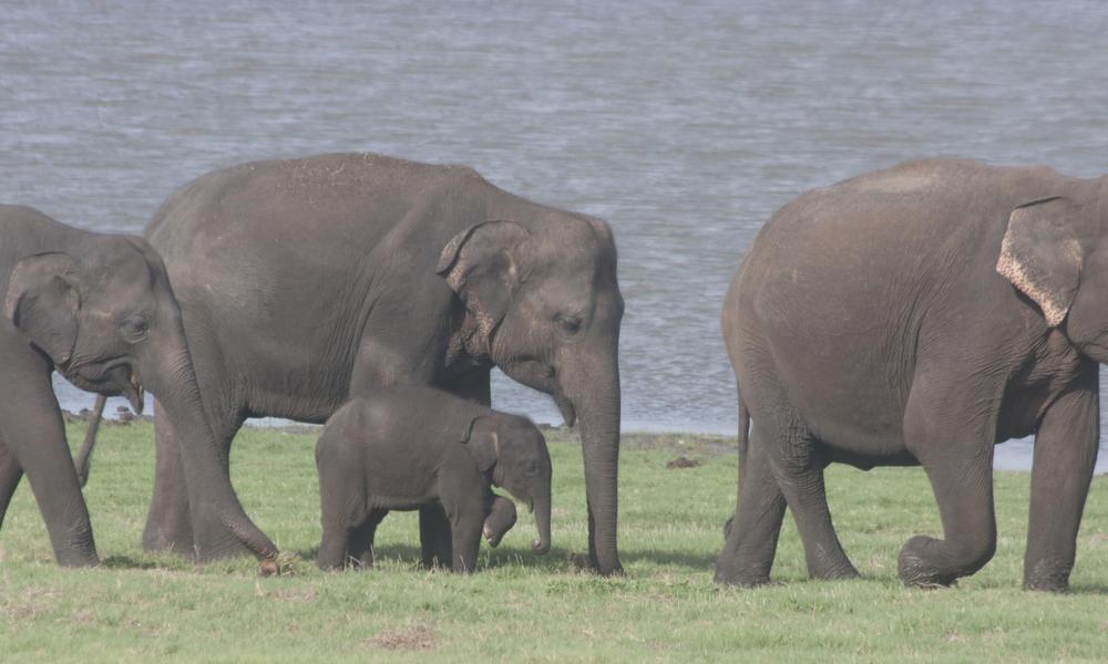 Sri Lanken Elephant